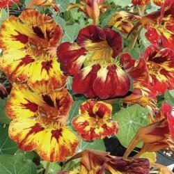 Nasturtium Orchid Flame