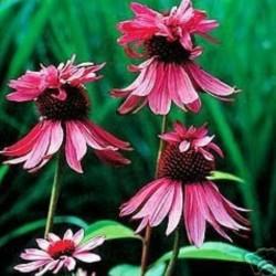 Echinacea purpurea Double...