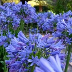 Agapanthus africanus Blue...