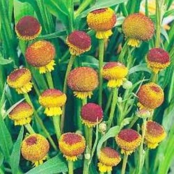 Helenium Lollipop