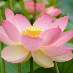 Nelumbo nucifera Sacred Lotus