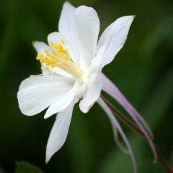 Aquilegia Crystal White Star