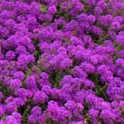 Verbena Profusion Violet
