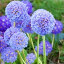 Primula denticulata Lilac...