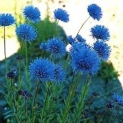 Jasione Blue Light