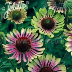 Echinacea purpurea Green...
