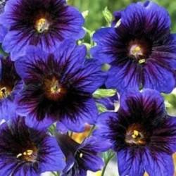 Salpiglossis sinuata Kew Blue