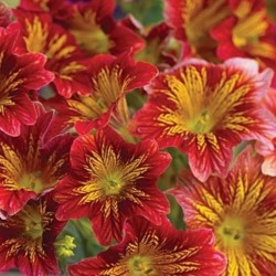Salpiglossis Red Bicolor