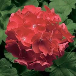 Geranium Pinto Coral