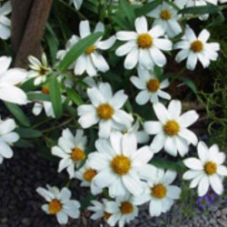 Zinnia Star White