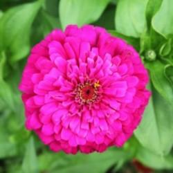 Zinnia Oklahoma Pink