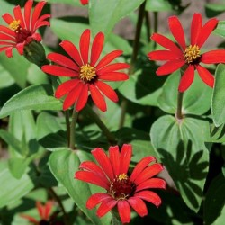 Zinnia Red Spider