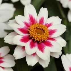 Zinnia Zahara Starlight Rose