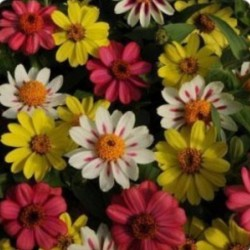 Zinnia Zahara Mix Raspberry...