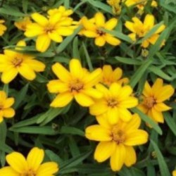 Zinnia Star Yellow