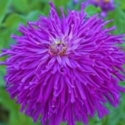 Zinnia Lilac Emporer NEW