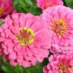 Zinnia Luminosa NEW