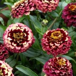 Zinnia Aztec Burgundy Bicolor