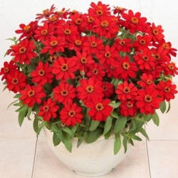 Zinnia Profusion Red NEW