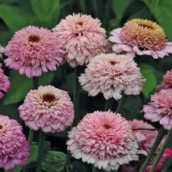 Zinnia Zinderella Lilac