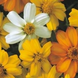 Zinnia Star Mix
