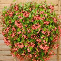 Begonia Pink Splash