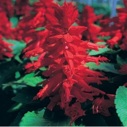 Salvia Splendens Sizzler Red