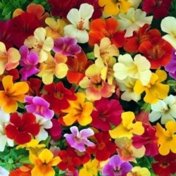Mimulus Twinkle Mix
