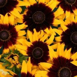 Rudbeckia Solar Eclipse NEW