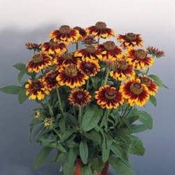 Rudbeckia Rustic Colors NEW