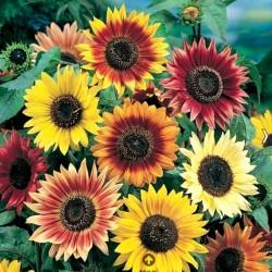 Sunflower Autumn Beauty NEW