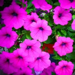 Petunia Mini Max Violet Shades