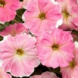 Petunia Nuvolari Dusty Pink