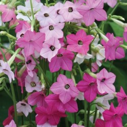 Nicotiana Whispers Mix NEW