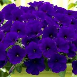 Petunia Trilogy Blue