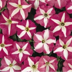 Petunia Carpet Rose Star