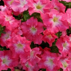 Petunia Dreams Coral Morn