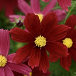 Cosmos Sonata Red Shades NEW
