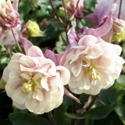 Aquilegia Winky Double Rose...