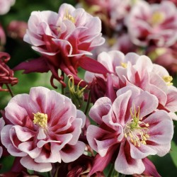 Aquilegia Winky Double Red...