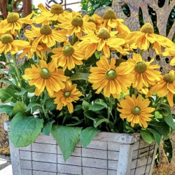 Rudbeckia Amarillo Gold NEW