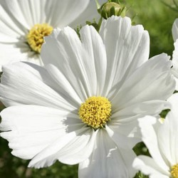 Cosmos Afternoon White NEW