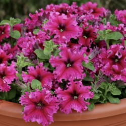 Petunia Expresso Frappe Rose