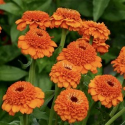 Zinnia Zinderella Orange NEW
