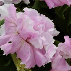 Petunia Double Cascade...