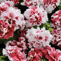 Petunia Double Pirouette Red