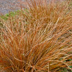 Carex buchananii Red Rooster