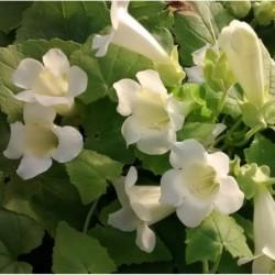 maurandya bridal bouquet.jpg
