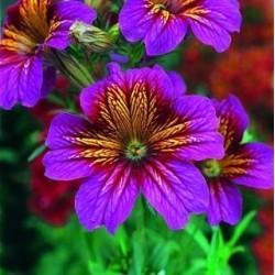 salpiglossis purple.jpg